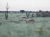 our-first-impalas