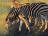 our-first-zebra