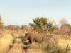 first-rhino