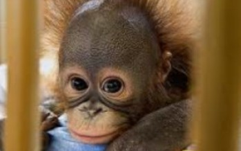 The Ape Baby (Gestation: 33 Weeks, 5 Days)